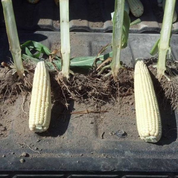 Our Corn and Roots